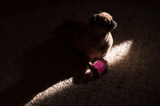 Dark, Room, Pug, Dog, Animal, Pet, Ball, Play, Carpet