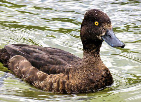 Animal, Duck, Diving Duck, Water Bird, Anatidae