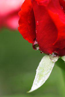 Rose, Red, Drop, Rain, Red Rose, Flower, Macro, Garden