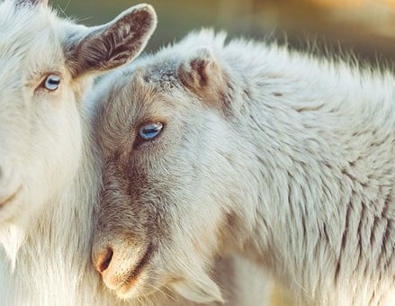 Sheep, Animal, Lamb, Love, Wool, Eyes, Snout, Friends
