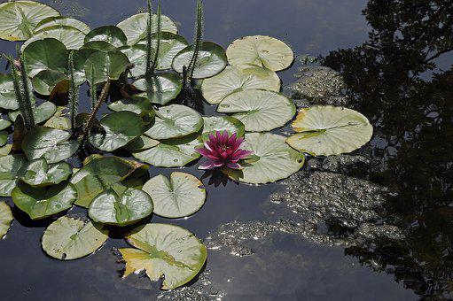Water Lily, Water, Pond, Pink Water Lily, Aquatic Plant