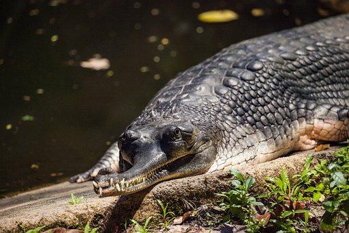 Gharial, Gavial, Real Gavial, Reptile, Crocodile