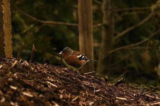 Chaffinch, Bird, Food, Animal, Songbird, Fink, Plumage