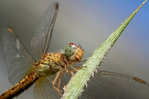 Dragonfly, Insect, Macro, Nature, Wings, Wildlife