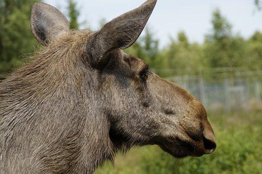 Moose, Animal Portrait, Head, Moose Cow, Sweden, Female