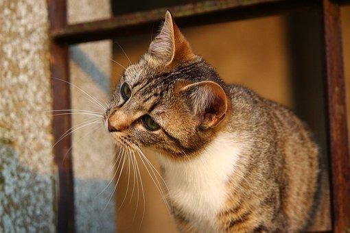 Cat, Mieze, Mackerel, Lauer, Play, Domestic Cat