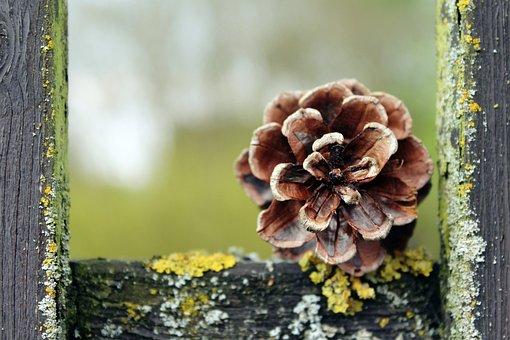 Pine Cones, Tap, Nature, Pine, Close, Pine Greenhouse