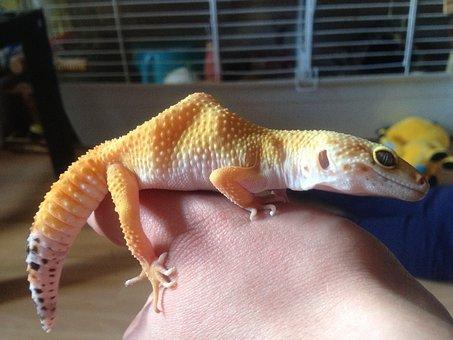 Leopard Gecko, Gecko, Yellow, Hump, Reptile, Leopard