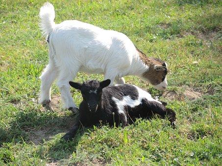 Dwarf Goat, Animals, Black White