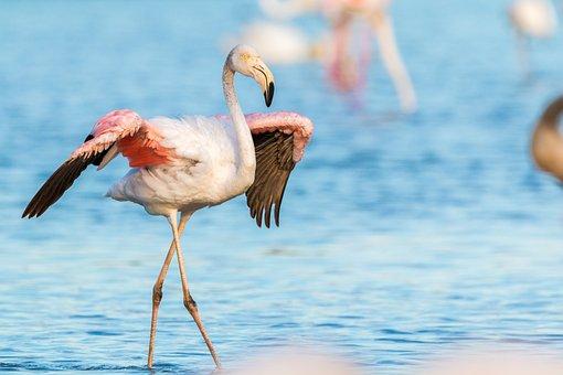 Flamingo, Flamingos, France, Wild, Pink, Water Bird