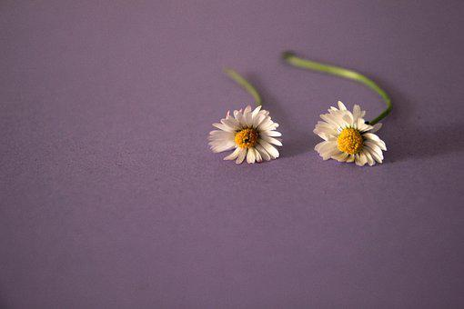 Daisy, Violet, Flower, Background, Nature, Floral