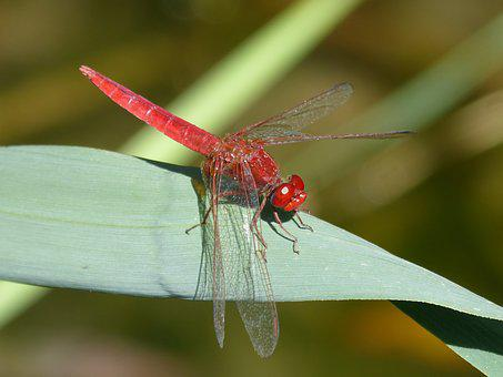 Red Dragonfly, Leaf, Wetland, Flying Insect