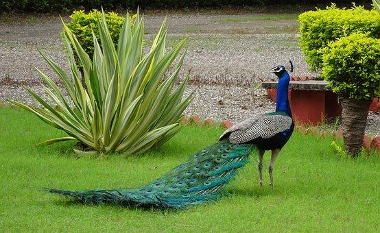 Peacock, Bird, Pavo Cristatus, Pheasant, Phasianinae