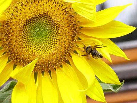 Sunflower, Yellow, Summer, Plant, Bumblebee, Flower