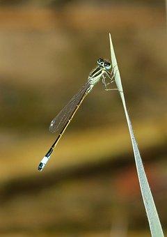 Dragonfly, Damselfly, Leaf, Pond, Ischnura Graellsii