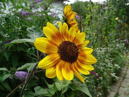 Sun Flower, Sunflower, Summer, Garden, Flower, Blossom
