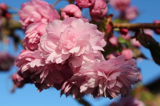 Blossom, Trees, Bloom, Season, Pink, Springtime