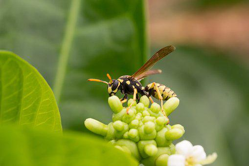 Wasp, Insect, Inflorescence, Noni, Sucking