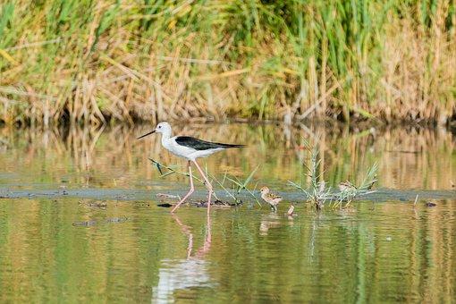 Stilt Bird, Young, Nest, Stilt, Avocet, Bird, Watt Bird