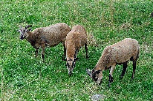 Trio, Three, Paarhufer, Horned, Pasture