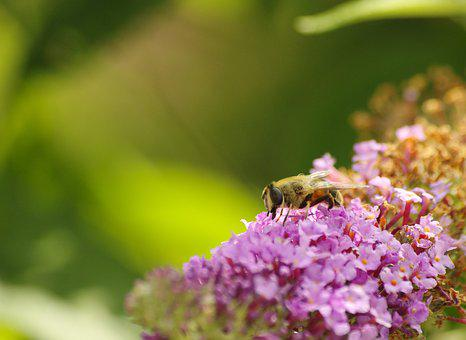 Bee, Close, Lilac, Insect, Blossom, Bloom, Pollen