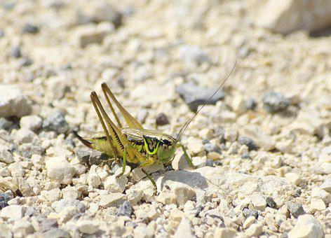 Grasshopper, Close, Pebble, Gravel, Green, Insect