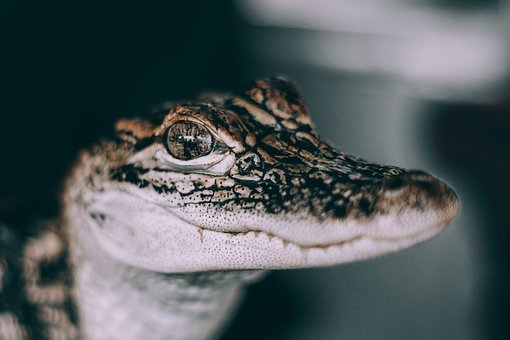 Snake, Wildlife, Poison, Eyes, Amphibian