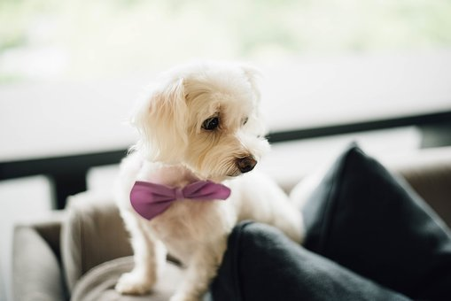 Puppy, Bow Tie, Cute, White, Dog