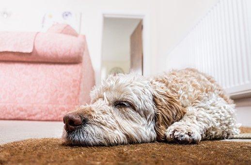 Dog, Floor, Waiting, Sleeping, Pet, Animal, Cute