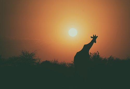 Giraffe, Animal, Wildlife, Tree, Plant, Outdoor, Nature