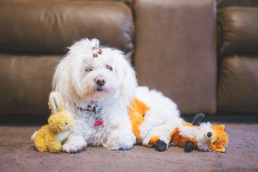 White, Puppy, Dog, Pet, Animal, Sofa, Couch, Stuff