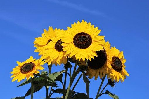 Sunflower, Bloom, Plant, Flower, Flowers, Yellow
