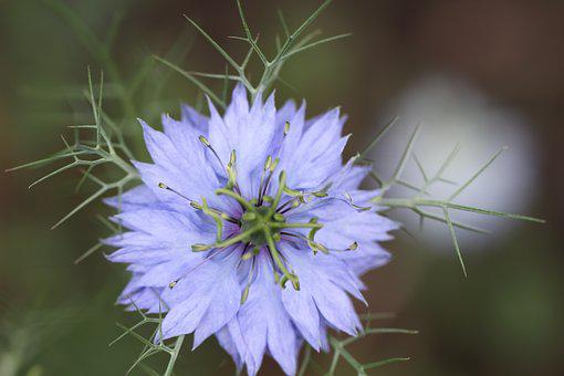 Cornflower, Purple, Blossom, Bloom, Flower, Violet