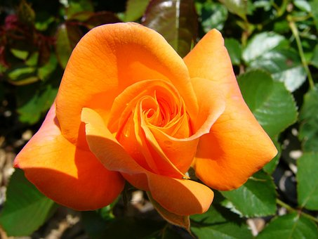 Orange, Rose, Garden, Flower, Nature, Floral