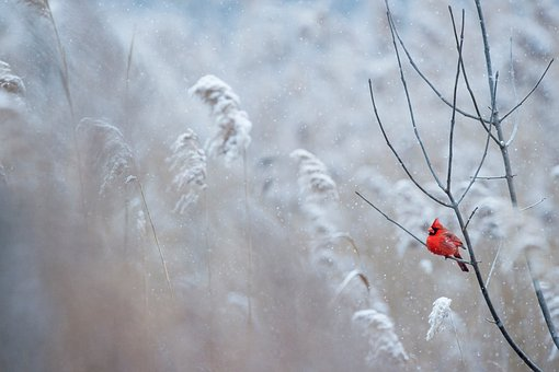 Red, Bird, Branch, Grass, Outdoor, Nature, Snow