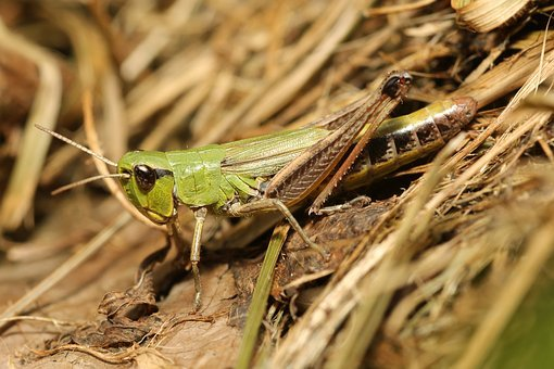 Grasshopper, Camouflage, Green, Close, Insect