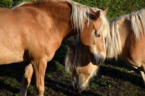Haflinger, Horse, Animal, Mare, Horse Head, Mane