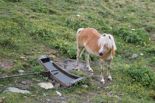 Haflinger, Kaltblut, South Tyrol, Pasture, Coupling