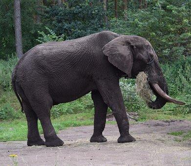 Elephant, Large, Proboscis, Africa, Pachyderm, Animal