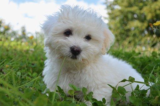 Dog, Puppy, Cotton Tulear, Petit, Animal, Soft, Cute