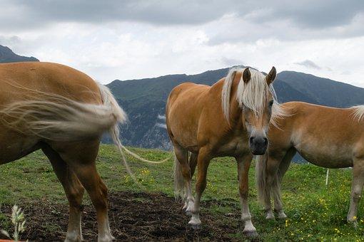 Haflinger, Horse, Draft Horse, Workhorse, Kaltblut