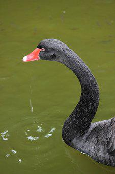 Swan, Black Swan, Bird, Black Bird, Animal, Nature