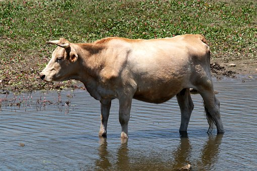 Manzanares Spain, Cow, River, Wading, Horns, Madrid