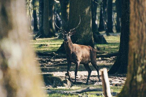 Deer, Animal, Wildlife, Trees, Plant, Forest, Sunny