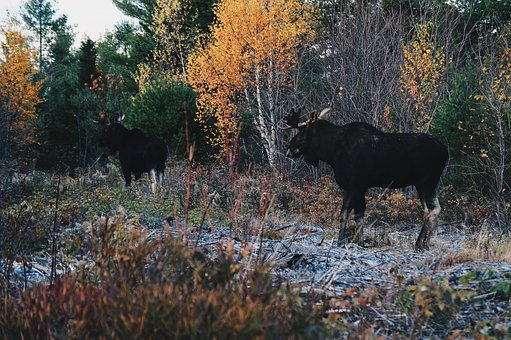 Cattle, Calf, Cow, Wildlife, Forest, Grass, Nature