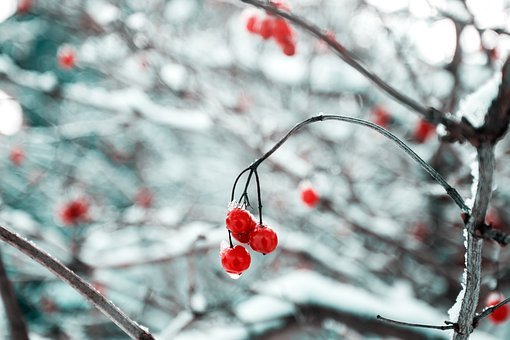 Cherry, Red, Fruit, Food, Sweets, Dessert, Branches