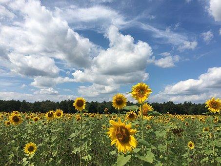 Sun Flower, Flower, Sunflower Field, Yellow, Summer