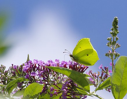 Gonepteryx Rhamni, Butterfly, Insect, Nature, Yellow