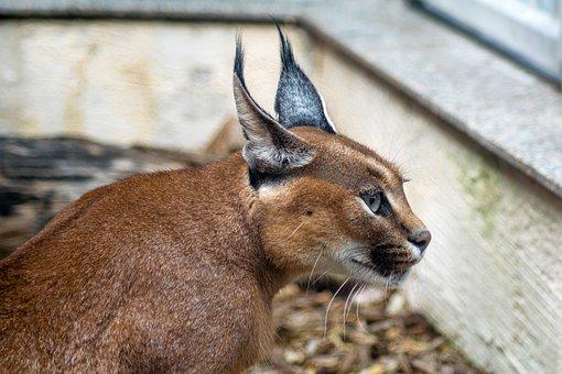 Desert Lynx, Karakal, Caracal Caracal, Kalaharia, Cat