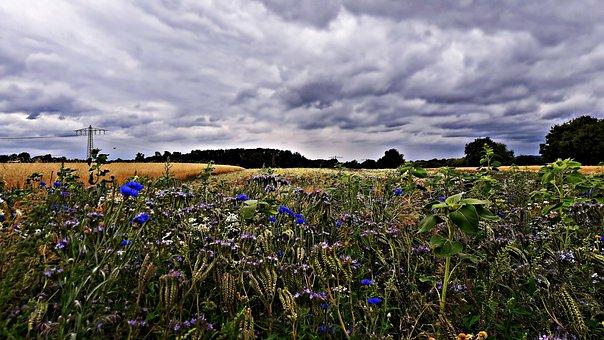 Field, Poppies, Cornflowers, Meadow, Flowers, Nature